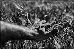 Touch (una cierta mirada) Tags: hand skin wheat cereal land