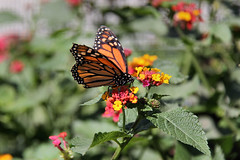 Monarch on lantana flowers. (Alexandra Rudge. Welcome Summertime!) Tags: california flowers naturaleza flores insectos nature animal animals museum canon butterfly angeles butterflies lepidoptera southern butterflypavilion animales museo mariposa mariposas naturalhistorymuseum animalia arthropoda insecto monarchbutterfly insecta danausplexippus flowersl californiaflowers museodehistorianatural a nhmla losangelesnaturalhistorymuseum californiawildlife californiafauna californiabutterflies alexandrarudge mariposascalifornianas mariposasdelsurdecalifornia californianaturalhistorymuseum mariposasdecalifonria mariposasdenorteamerica southerncaliforniabutterlies museodehistorianaturaldelosangeles museodehistorianaturaldecalifornia museodehistorianaturalpavellondelasmariposas pavellondelasmariposas losangelesnaturalhistorymuseumbutterflypavilion wildlifeofcalifornia flowerslos alexandrarudgeflowers alexandrarudgenaturalhistorymuseumlosangelescalifornia alexandrarudgebutterfliesandmoths alexandrarudgeimages alexandrarudgephotography