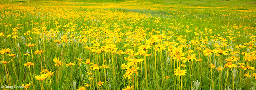 Photo - Doug Goodin PhotogField of Oragne Arnica flowers.