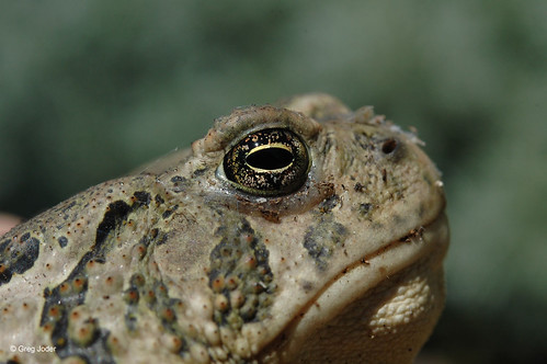 Photo - Close up, Woodhouse Toad.