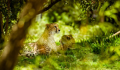 Cheetahs (isayx3) Tags: green texture animal nikon dof natural bokeh cheetah shallow vr d800 70300 isayx3 plainjoestudios plainjoephotoblogcom