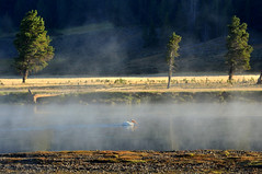 Pelican in Morning Mist (Iftekhar Naim) Tags: pelican yellowstone haydenvalley
