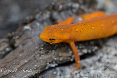 The Red-spotted Newt (gauravs82) Tags: orange baby macro reptile small young amphibian salamander lizard spots fragile newt eft notophthalmusviridescens redeft easternnewt redspotted aposematic