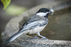 Chickadee (Summerside90) Tags: summer bird nature birds garden backyard birdbath wildlife chickadee birdwatcher