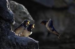 Dunstanburgh Castle Swallows IMG_8659a (thumblengthlegs) Tags: castle birds feeding wildlife chicks swallows nesting dunstanburgh