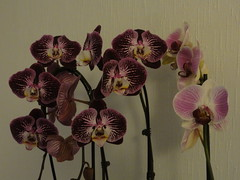 My orchids /// Mes orchides (Hlne_D) Tags: plant france orchid flower fleur grenoble plante orchide myflowers isre rhnealpes mesfleurs hlned