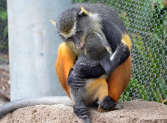 Wolf's Guenon Mom and Baby (The Brit_2) Tags: zoo san antonio wolfs guenon