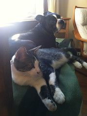 Foster cat Damon gets along great with dogs (ndh) Tags: cats dogs animals spike damon