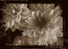Mums in Mono (MissyPenny) Tags: flowers vintage mono petals monochromatic mums chrysanthemums bristolpennsylvania pdlaich missypenny