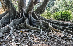octopus root tree (otgpics) Tags: small roots large bark huge network lichens banyan interwoven tentacles buttress spreading entangled intertwined snaking