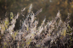IMG_8922a (justfordream) Tags: morning autumn plants colors backlight drops herbst pflanzen dew tau farben tropfen gegenlicht morgens neanderthal neandertal