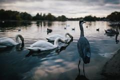 Hyde. (Crusade.) Tags: uk england lake london nature animal 35mm canon swan hydepark 5d2 sigma3514