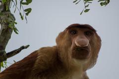 Bako National Park#14 (Florian Lebrun | Photographie) Tags: vert sarawak malaysia borneo monkeys kuching proboscis nasique bakonationalpark