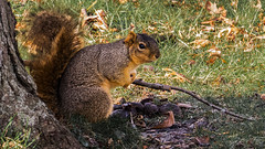 Squirrel with Stick (TK_Haines) Tags: cute animal squirrel funny wildlife attack stick