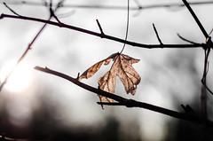 Lighting (Thomas TRENZ) Tags: autumn sun sunlight leaves sunshine 50mm leaf laub herbst blatt sonne f28 14000 lenses gegenlicht sonnenschein sonnenlicht