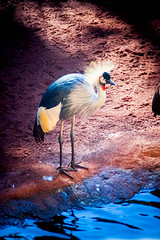 What Do You Mean, Bad Hair Day? (k009034) Tags: life park travel blue red lake bird nature water beautiful animal standing canon hair photography eos 350d zoo wings spain sand wildlife tail beak feathers posture rebelxt gesture greycrownedcrane beautifulearth artificiallake