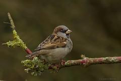House sparrow (Lambert Reinds) Tags: blinkagain bestofblinkwinners blinksuperstars