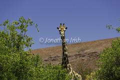 desert-adapted giraffe, desert Rhino Camp, Etendeka Mountains, Palmweg Concession, Damaraland, Namibia (Jonathan Irish) Tags: lens creator namibia geocity camera:make=canon exif:make=canon exif:iso_speed=100 cameramake geostate geocountrys exif:focal_length=245mm exif:aperture=ƒ56 exif:model=canoneos5dmarkiii camera:model=canoneos5dmarkiii exif:lens=ef70200mmf28lisiiusm2xiii keywordsall