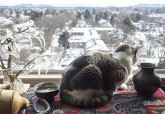 Snowy Still Life (A.Davey) Tags: cat wendy rescuecat greyandwhitecat