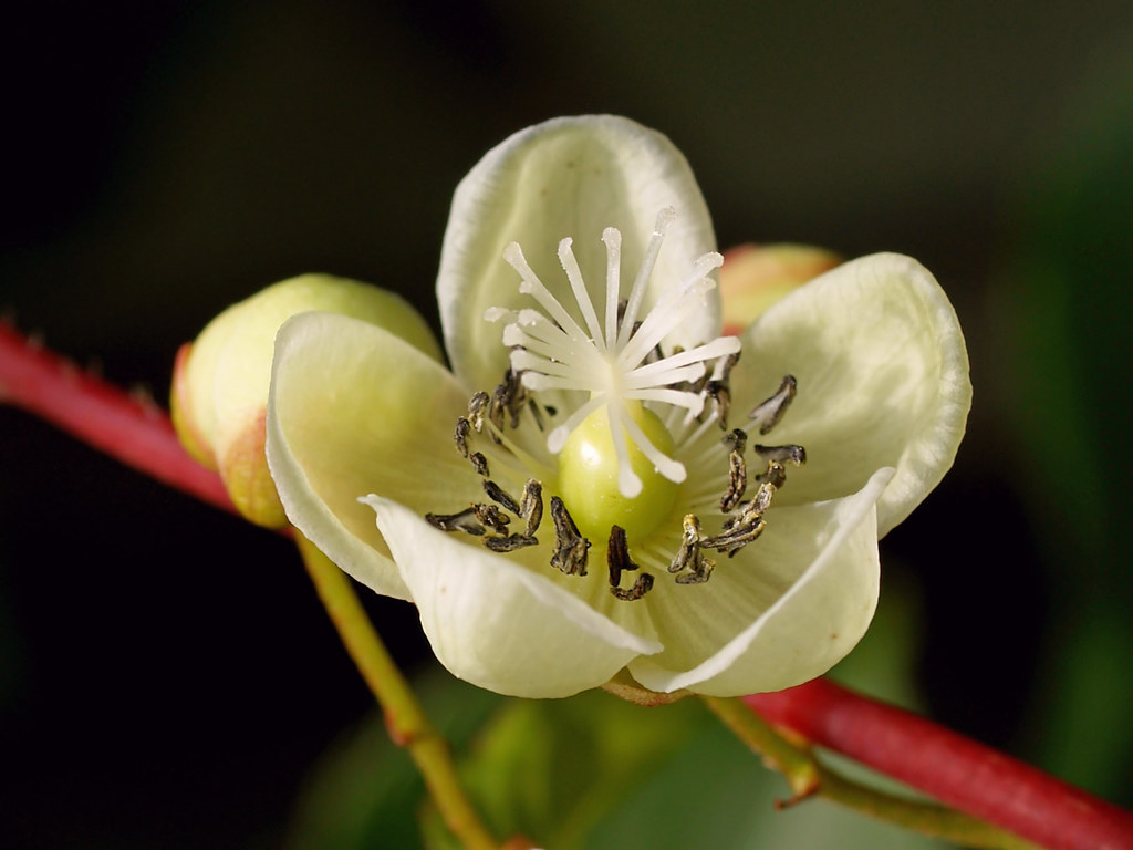 The Worlds Best Photos Of Actinidia And Flower Flickr Hive Mind