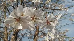 Almendros en flor (esta_ahi) Tags: barcelona españa flower spain flora árboles flor árbol almendro almondtree rosaceae ametller cultivados prunusdulcis испания vilafrancadelpenedès prunusamygdalus