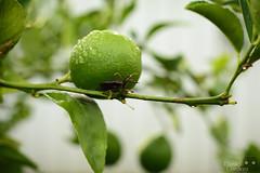 Lemon bug (DCpanda88) Tags: garden lemon nikon bokeh bugs 50mm14 greenery citrus plantlife