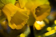 Yellow Flowers (Patrick-Wiesler) Tags: sun flower yellow canon germany deutschland warm gelb filter tele blume makro blitz blüte rettung sonne feuerwehr schwarzwald polizei frühling badenweiler cullman objektiv gefühle 600d rettungsdecke yongnuo makrofilter