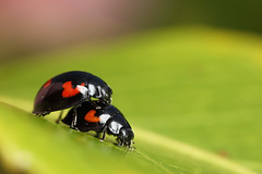 Pine ladybirds mating #1 (Lord V) Tags: macro bug insect ladybird mating pineladybird
