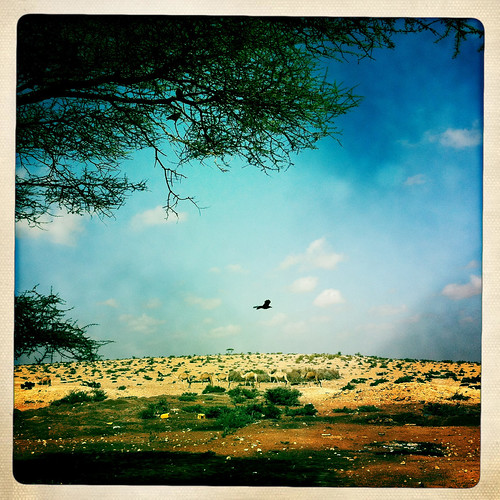 A Predatory Bird Is Flying Over The Bushes, Degehabur Area, Somaliland
