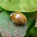 Freshly emerged 10 spot Ladybird. Adalia decempunctata