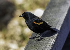 Red-winged blackbird (Fogboundturtle) Tags: red lake male burnaby winged blackbird