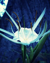 opening (LauraSorrells) Tags: blue vacation white flower color nature mississippi botanical twilight poetry poem quote joy vivid mandala wetlands natchez april opening metaphor depth springtime 2011 colorplay johnodonohue