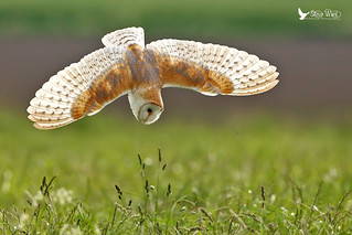 Fan-tastic .......... Barn Owl Diving