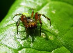 Araniella cucurbitina, Cucumber Green Spider