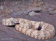 Panamint Rattlesnake (Crotalus stephensi) (David A Jahn) Tags: desert snake mojave viper rattlesnake mohave rattler crotalus panamint crote stephensi