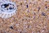 _8005943.jpg (KevinAirs) Tags: whalebeach newsouthwales australia au kevinairs442 beach coral crystals grains macro ocean pacificocean sand sea seashells seaside silica tasmansea ©kevinairswwwwordsandpixcom availabletobuyatwwwkaozcomau
