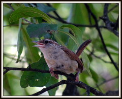 DSC04111-001 (uncle mike in knoxville) Tags: bird wren carolinawren