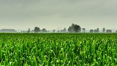 Champ de bl, pluie et brouillard pour une ambiance Walking Dead (Kevin Watier-Plante) Tags: green field rain fog landscape corn cornfield pluie paysage brouillard champ brume ambiance bl walkingdead