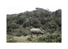 Farmer's life (jeroen.janssens) Tags: life cow jeroen rainforest sad vietnam tropic lonely farmer sapa bufallo janssens