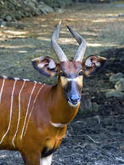 Memphis Zoo 08-31-2016 - Bongo 1 (David441491) Tags: bongo memphiszoo antelope