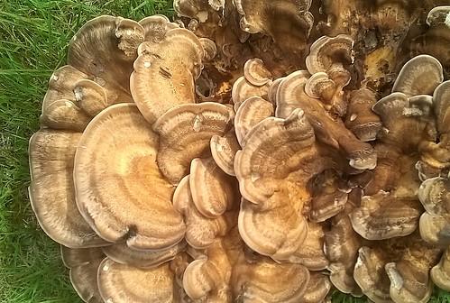 Fungi & Mushroom, grassland, UK 12092016, Mbl phone snaps (2)