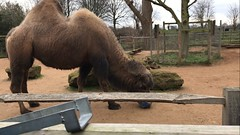 Bactrian camel enrichment (QuirkyMerky) Tags: bactriancamel camels regentspark conservation zoologicalsocietyoflondon londonzoo animals wildlife nature london zoo zsl zsllondonzoo february 2017 videostill iphone7