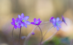 Longing for Spring (CecilieSonstebyPhotography) Tags: anemonehepatica april bygdøy canon canon5dmarkiii ef100mmf28lmacroisusm macro100mm markiii norway oslo blue bokeh closeup cluster flower flowers macro outdoor petal petals purple spring yellow ngc
