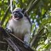 Geoffroy's tamarin monkey - wild titi monkeys gamboa panama pandemonio 2017 - 03