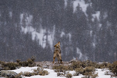 Snowy Howl (matthewschonert) Tags: howl coyote yellowstone wyoming wy march winter howling bark animal nature wildlife mammal natur snowy wild animals outdoor barking ynp yellowstonenationalpark usa america american united states north animalscape landscape
