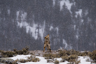 Snowy Howl