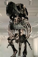 IMG_0636 (jaybluejeans94) Tags: manchester manchestermuseum museum animal animals skeleton uk architecture reptile reptiles bones lizard chamelion dinosaur nature