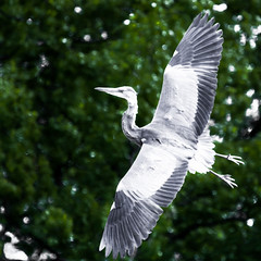 Turning at speed (Steve-h) Tags: ireland dublin bird heron nature speed canon eos flying blog europe action flight eire blogs bloggers blogging turning allrightsreserved lightroom bushypark rathfarnham canonef100400mmf4556lisusm greatgreyheron steveh canoneos5dmkii canoneos5dmk2 may2013