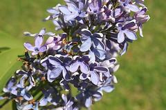 Front Yard Lilacs 003 (Chrisser) Tags: flowers ontario canada nature garden spring gardening fourseasons closeups shrubs lilacs syringavulgaris oleaceae canonefs1855mmf3556islens canoneosrebelt1i