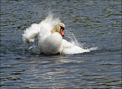 Mighty White (PHILIP.ISOM) Tags: birds muteswan westportlake sigma55200mm olympuse510
